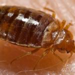 pest control san antonio - fleas